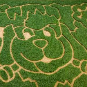 Holidog in Corn Maze