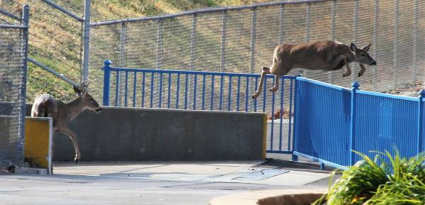 Deer Jumping Gate