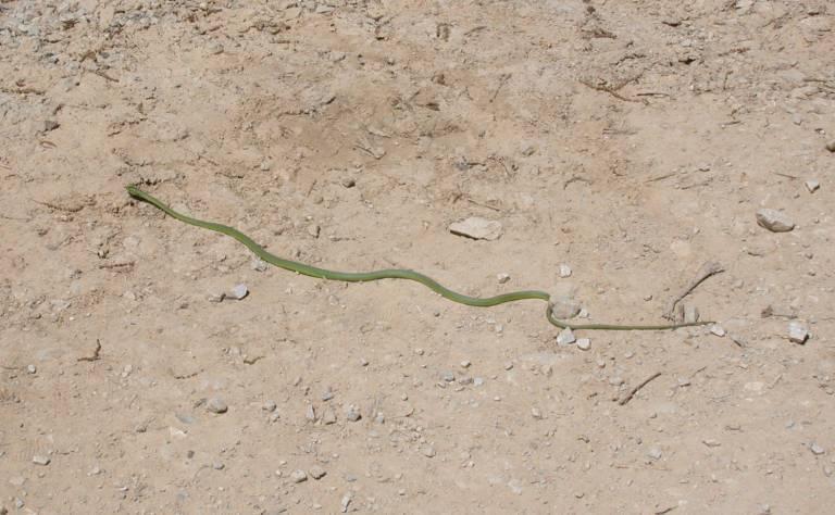 Long green snake at Voyage